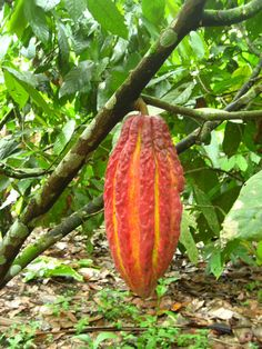 More than edible, this is chocolate! The Cacao Tree (Theobroma cacao) is native to the deep tropical rainforests of Central and South America. Its seeds (cocoa beans) are used to make cocoa mass, cocoa powder, and chocolate.