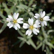 Fleurs Blanches, Fleurs Délicates