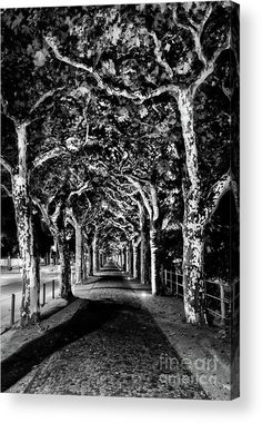 Frankfurt Sycamore Canopy Acrylic Print by Norma Brandsberg. All acrylic prints are professionally printed, packaged, and shipped within 3 - 4 business days and delivered ready-to-hang on your wall. Wood Canvas, Canvas Art, Canvas Prints, Germany Photography, Fine Art Photography, White Photography, Brick Walkway, Canopy Frame, Fine Art Prints