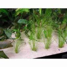 planta acautica tapizante eleochoaris acicularis en maceta