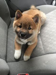 Cute Shiba Inu Puppies | Cutest shiba inu puppy? Ask me anything! : aww
