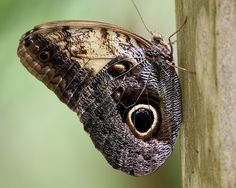 owl butterfly made | Flickr - Photo Sharing!