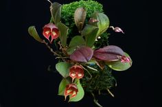 Lepanthes Cordeliae | Click on image to enlarge!