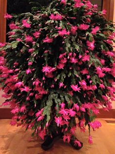 I do believe this is the Mother of all Christmas Cactus !!!! WOW! *She is 27 years old and the proud owner is Nancy Parkinson. via Stompin' Mud Puddles FB