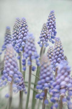 ♕ Grape Hyacinths (photo by Treetop Photo Shop)