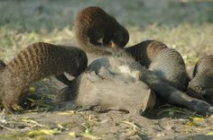 Warthogs living in Uganda's Queen Elizabeth national park, with mongoose looking for a treat.