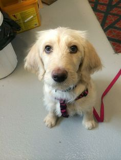 FALCOR	Labrador Retriever & Poodle Mix • Baby • Female • Extra Large Surrey Animal Resource Centre Surrey, BC FALCOR