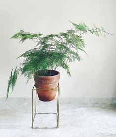 low light indoor plants for darker corners - Asparagus Fern Ficus, Indoor Ferns, Indoor Plants, Potted Plants, Garden Plants, Foliage Plants, Plantas Indoor, Fern Plant, Fern Houseplant