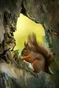 A Red Squirrel, In A Hollow Log