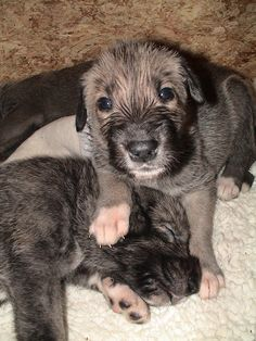 Irish Wolfhound pups