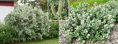 villapaju - Salix lanata