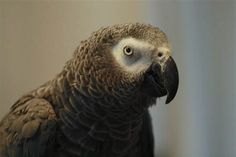Parrots can reason just like 3-year-old kids