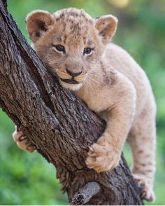Animals - Wildlife on Instagram: ?Perched Lion Cub | Photograph by @rudihulshof Tag #WildlifePlanet and follow us to be featured!?