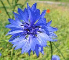 Nevädza je modrofialová bylinka, ktorú z videnia určite poznáte. Málokto však o nej vie, že má aj zdravotné pozitíva a že si z nej môžete pripraviť napríklad liečivý čaj. Najčastejšie sa využíva pri...
