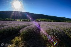 Lavender fields in the evening sun by Andreas Müller / 500px