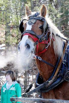 Ready for a sleigh ride? - Belgium Draft horse
