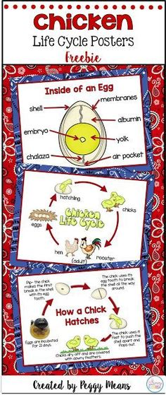 Chicken Life Cycle Posters {Freebie}: 1. Inside of an Egg 2. Chicken Life Cycle Anchor Poster 3. How a Chick Hatches Anchor Poster
