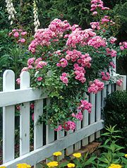 Picket fence and rambling rose