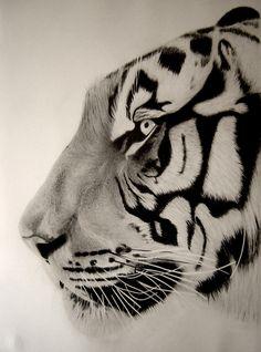 'tiger close up' graphite drawing