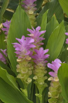 Photo 1231-08: Blooming ginger (Curcuma cordata) in Mercer ...