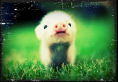 """Untitled"" by Siena359 from befunky.com #pig"