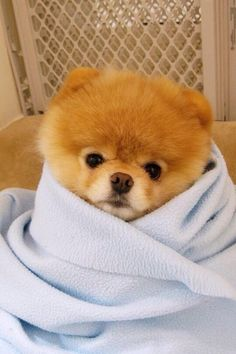 Everything we admire about the Cute Pomeranian Puppy More About Pomeranian Puppies Boo The Cutest Dog, World Cutest Dog, Cutest Dog Ever, Cutest Dogs, Pet Dogs, Dog Cat, Pets, Boo Dog, Doggies
