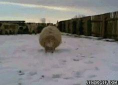 Sheep runs into a man with a camera - AnimalsBeingDicks.com