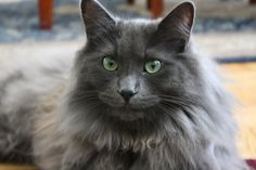 If you are looking for a truly unique and beautiful kitten you don't have to look much further than the Russian Blue breed. Delightful Discover The Russian Blue Cats Ideas. Korat Cat, Nebelung Cat, Chartreux Cat, Rare Cats, Cats And Kittens, Domestic Cat Breeds, F2 Savannah Cat, Russian Blue, Beautiful Cats