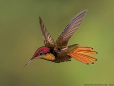 Ruby Topaz Hummingbird This species may look small and dainty but don't let their size fool you. Males will perch in conspicuous places, and aggressively defend their territories from competitors.