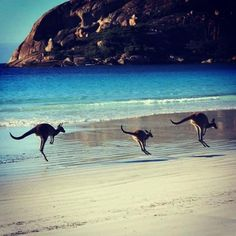 Kangaroos on the beach in Australia - Lucky Bay (South Australia), Pebbly Beach (New South Wales), and Cape Hillsborough (Queensland).