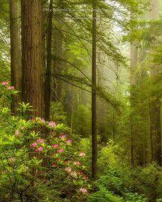 Not to many many places look as beautiful as the California redwoods with rhododendrons blooming in fog. Spiritual Religion, Spring Forest, Mystical Forest, Old Trees, Walk In The Woods, Tree Forest, Beautiful World, Beautiful Things, Dream Garden
