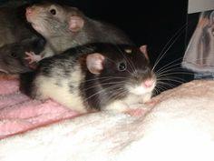 Black eyed marten dumbo rat, black and white variegated dumbo rat
