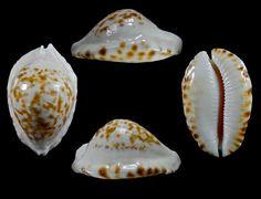 Zoila marginata F, bataviensis....F+++/Gem 54,6 mm