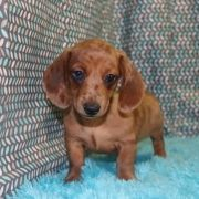 Dapple Dachshunds Puppy No Longer Available Puppyspot Clever