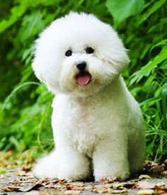 The breed has a merry, playful temperament. It is sensitive, gentle and affectionate and has a soft, inquisitive expression with sparkling dark eyes. Dog Breeds List, Cute Dogs Breeds, Small Dog Breeds, Small Breed, Bichon Frise Price, Pet Dogs, Dog Cat, Doggies, Doggie Beds