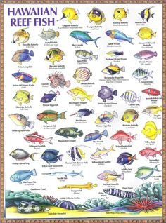 Hawaiian Reef Fish.. I've seen all of these! Can't wait to snorkel so I can say hi to them once again! ( going to Hawaii again )