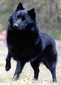 schipperke dog photo | AVERAGE LIFESPAN