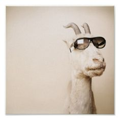 A funny, striking photo of a goat wearing shades.