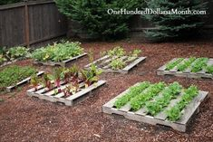 Pallet Garden Photos – Lettuce, Strawberries, Beans and Chard: