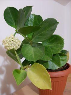 Hoya pachyclada