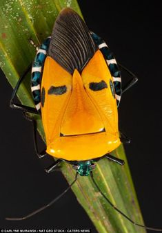 The Pentomid bug spotted in a forest in Thailand. The insect bears an uncanny resemblance to Elvis. Weird Insects, Cool Insects, Bugs And Insects, Shield Bugs, Cool Bugs, Scary Bugs, Insect Photography, Travel Photography, Animal Kingdom