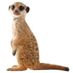 kek amsterdam muursticker safari friends meerkat 52x55cm