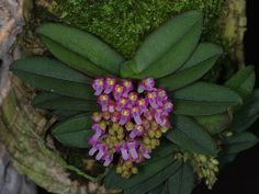 Orchid: Schoenorchis manipurensis. Found in Manipur, India, at elevations of 750 to 1000 meters as a mini-miniature sized, hot to warm growing epiphyte. Blooms in the summer on to several, axillary, [1.5 to 2 cm] long, 10 to 12 flowered inflorescence.