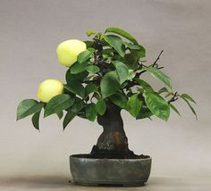 Bonsai - apple