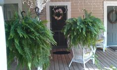 A bit of Epson salt and Miracle Grow helps keep the ferns full and green. A bit of Epson salt and Mi Outdoor Landscaping, Landscaping Ideas, Florida Home, Epson, My Flower, Ferns, Garden Plants, Gardening Tips, Make It Simple