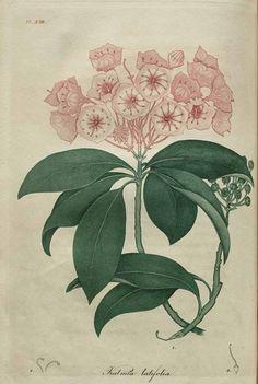 Kalmia Latifolia, American Medical Botany, Jacob Bigelow