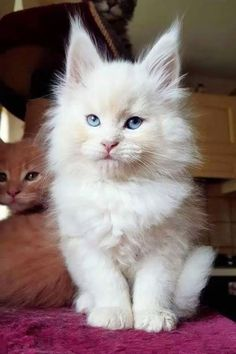 Maine Coon Cats and Kittens are so adorable! Find out where you can adopt and ow… Maine Coon Cats and Kittens are so adorable! Find out where you can adopt and own a beautiful Maine Coon Kitten in our post! Cute Cats And Kittens, Baby Cats, Cool Cats, Kittens Cutest, Cute Kitten Videos, Kittens Meowing, Pretty Cats, Beautiful Cats, Animals Beautiful