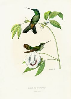 Mulsant & Verreaux Hummingbird Prints by Bevalet c1885
