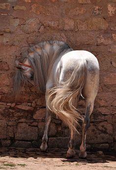 akingdomofhorses:  32/☼ Iberian Horses  Andalusian Stallion