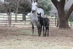 Raisin Roan QH Ranch- Bucky not even a day old & Momma Cleo 3/22/14
